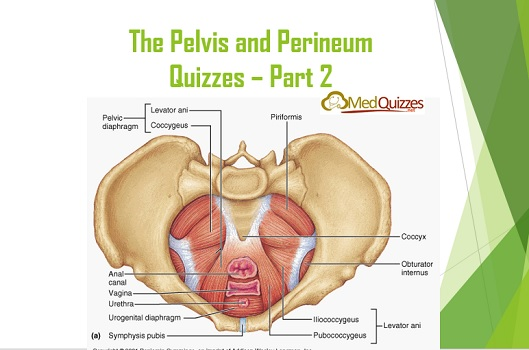 Anatomy The Pelvis And Perineum Quizzes Part 2 20 Questions